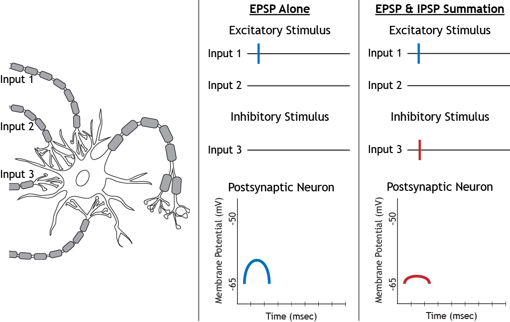 The effect of summation of excitatory and inhibitory stimuli. Details in caption.