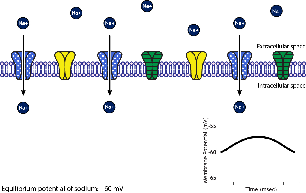 Illustrated membrane showing sodium ion movement into the cell. Details in caption.