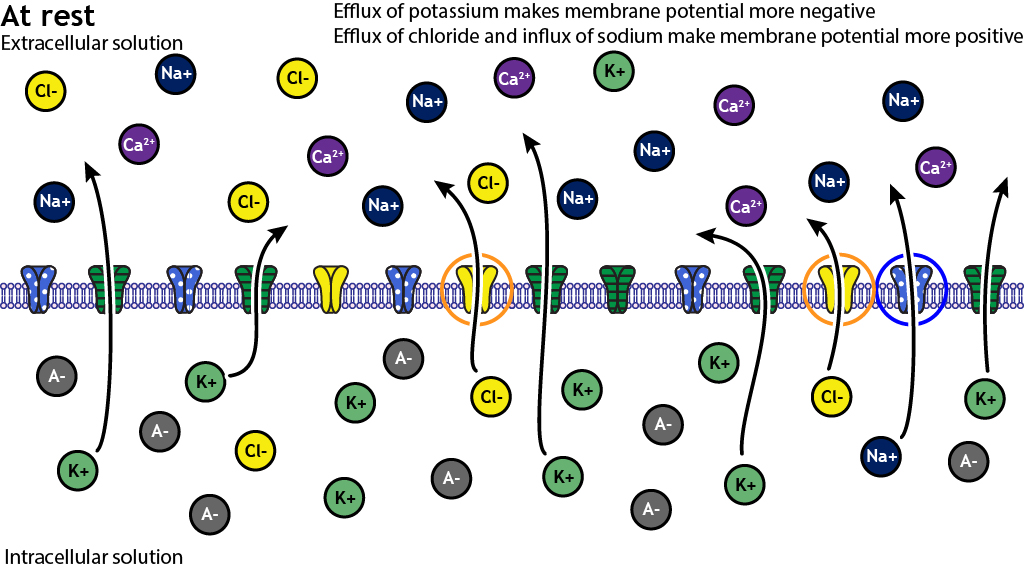"""Illustrated membrane with illustrated ion channels. Illustrated ions are on either side of the membrane. At rest, ore potassium ion channels are open compared to chloride or sodium. Arrows on the ion channels indicate many potassium ions flowing out of the cell, fewer chloride ions flowing out of the cell, and very few sodium ions flowing into the cell. Text reads, """"Efflux of potassium makes membrane potential more negative. Efflux of chloride and influx of sodium make membrane potential more positive."""""""
