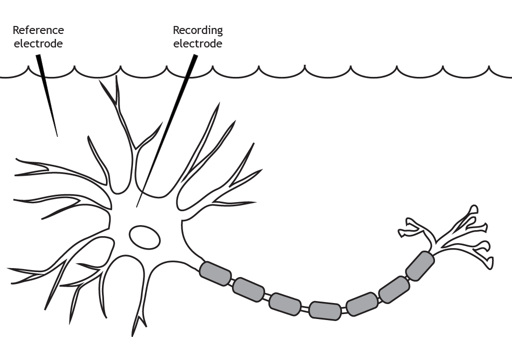Illustrated neuron in a solution with two electrodes. Details in caption.