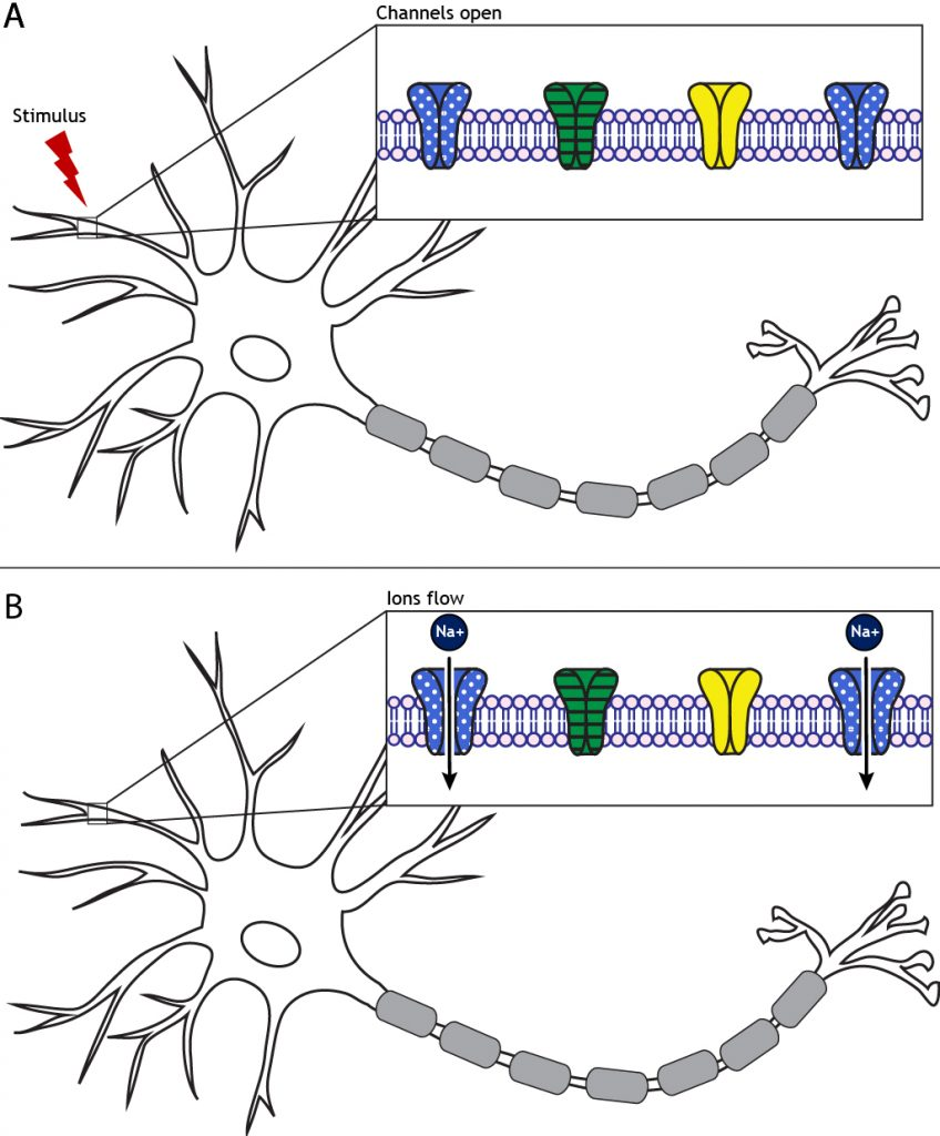A stimulus to the neuron will cause ion channels to open and allow ion flow. Details in caption.