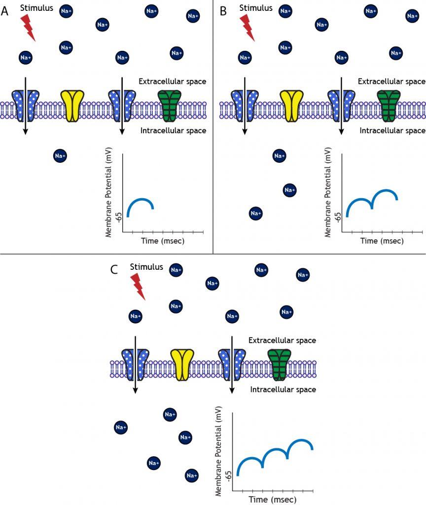 Multiple excitatory stimuli lead to summated EPSPs. Details in caption.