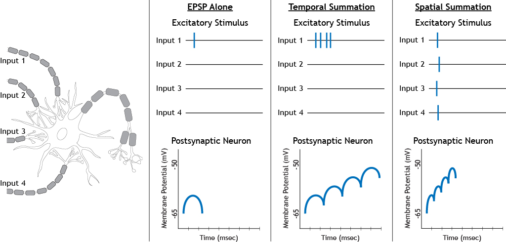 The effects of temporal and spatial summation of excitatory stimuli. Details in caption.