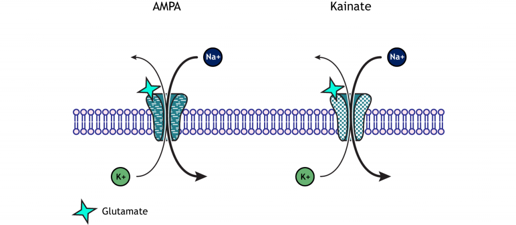 Illustrated AMPA and kainite channels showing sodium and potassium movement. Details in caption.