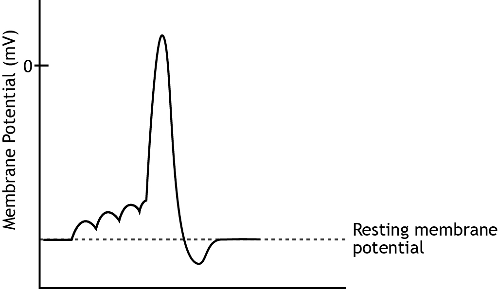 Graph that shows membrane potential change during an action potential. Details in caption.