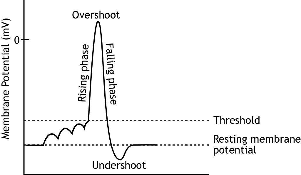 Graph that shows membrane potential change and names of the phases during an action potential. Details in caption.