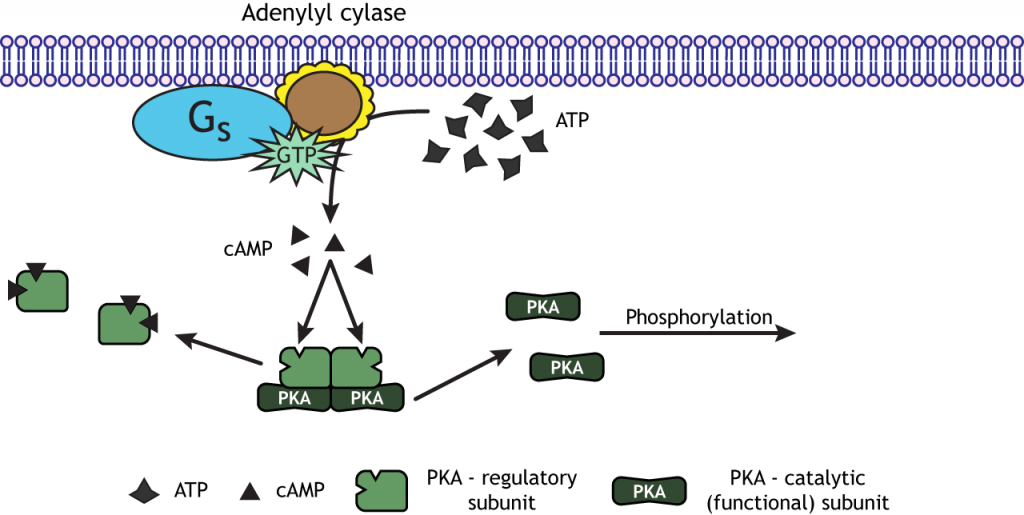 Adenylyl cyclase signaling pathway. Details in caption.