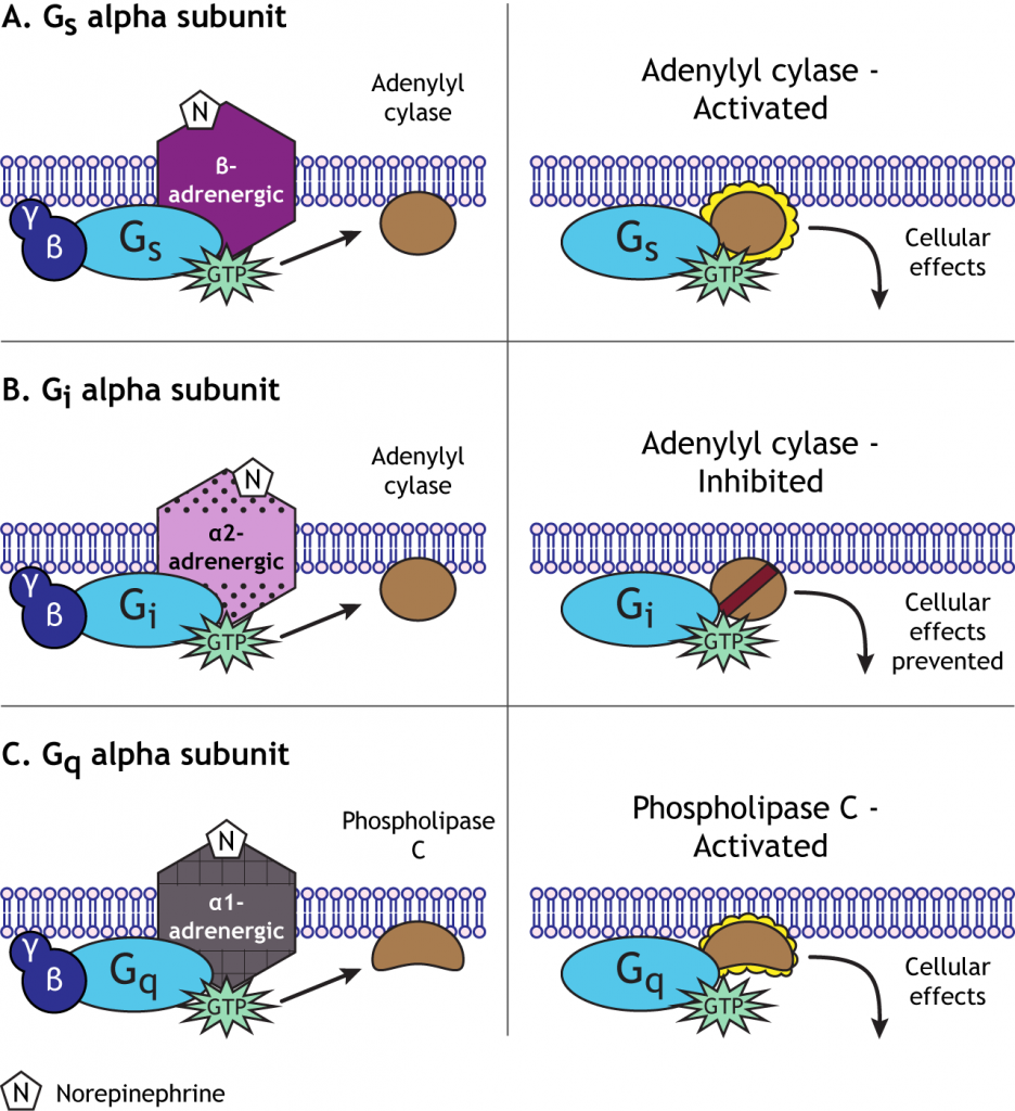 The type of alpha subunit determines the second messenger pathway. Details in caption.