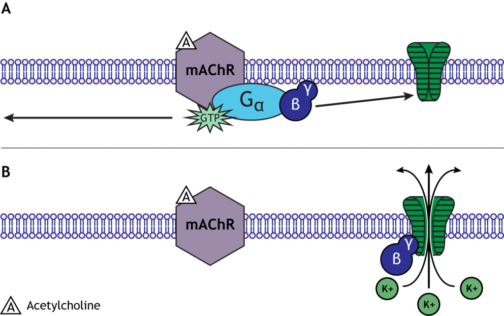 Beta-gamma subunit can open ion channels. Details in caption.