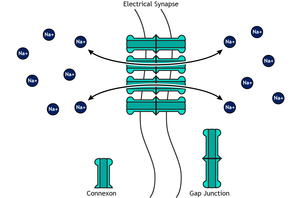 Illustrated electrical synapse with bidirectional ion flow. Details in caption.
