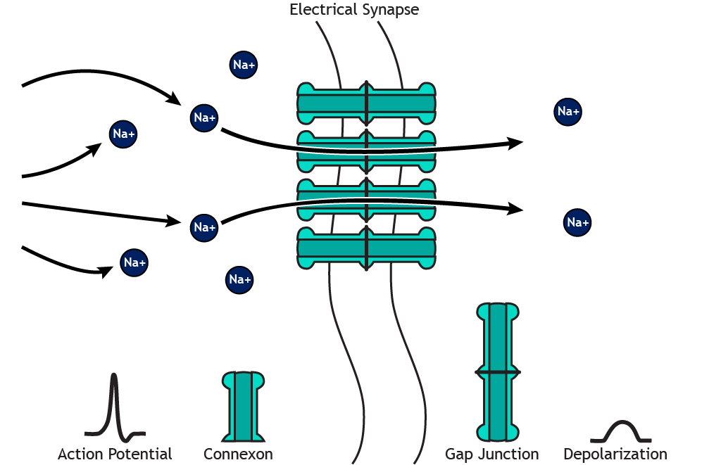 Illustrated electrical synapse with ion flow. Details in caption.