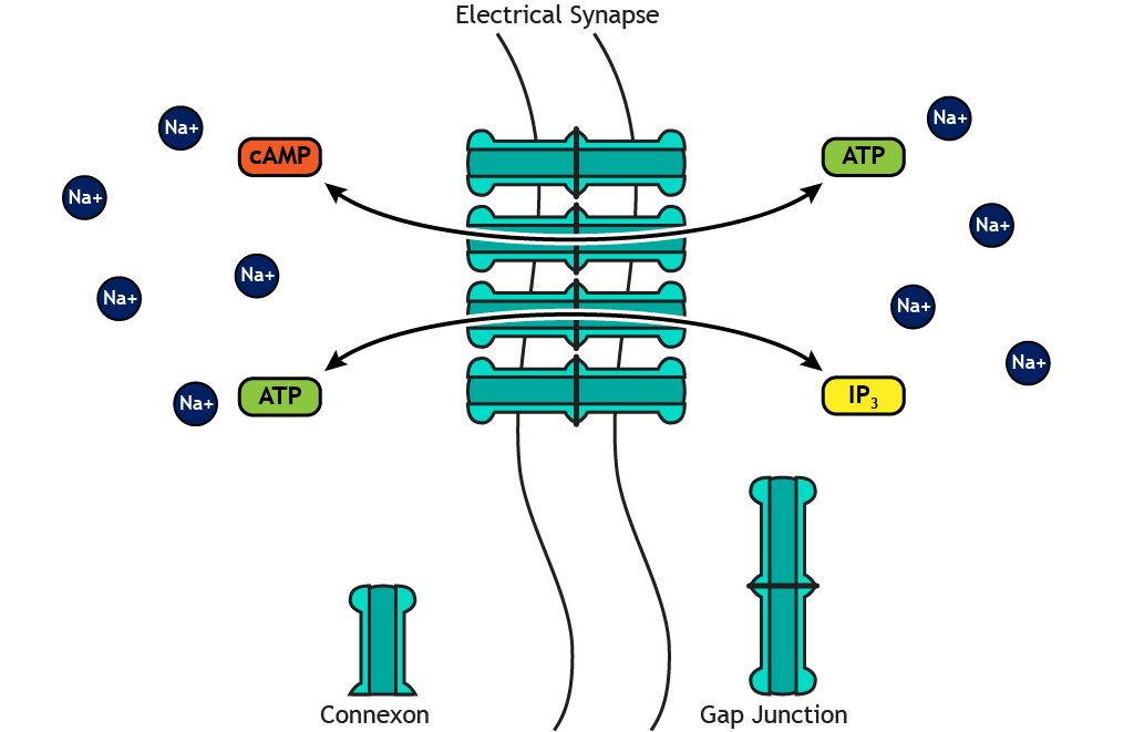 Illustrated electrical synapse showing small molecules crossing the membrane. Details in caption.