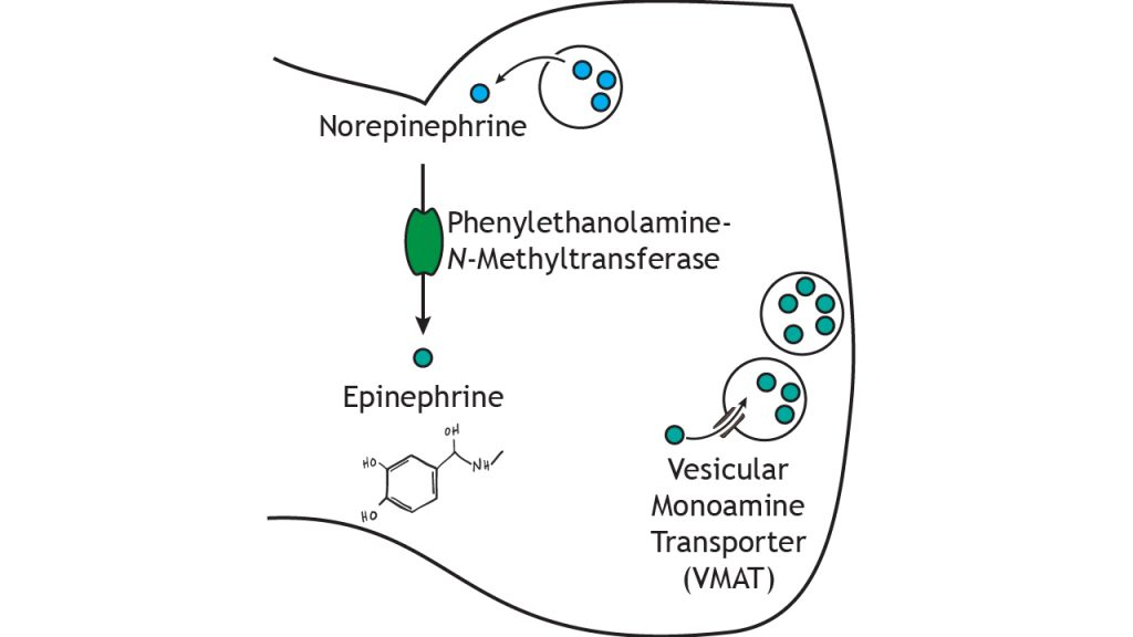 Illustrated pathway of epinephrine synthesis and storage. Details in caption.