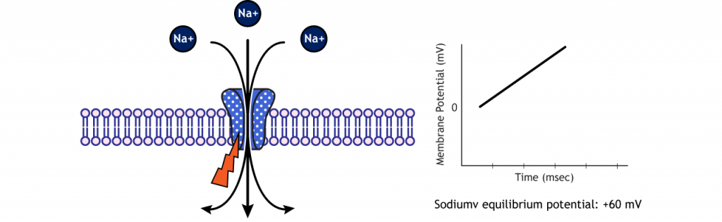 Sodium flows into the cell via voltage-gated sodium channels to reach equilibrium. Details in caption.