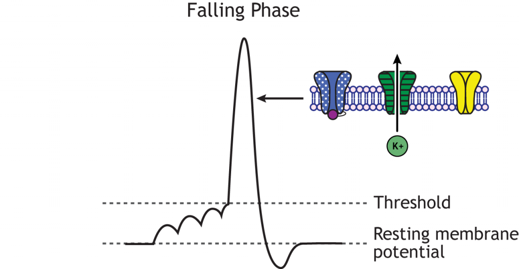 Action potential graph highlighting the falling phase, inactivated sodium channels, and open voltage-gated potassium channels. Details in caption.