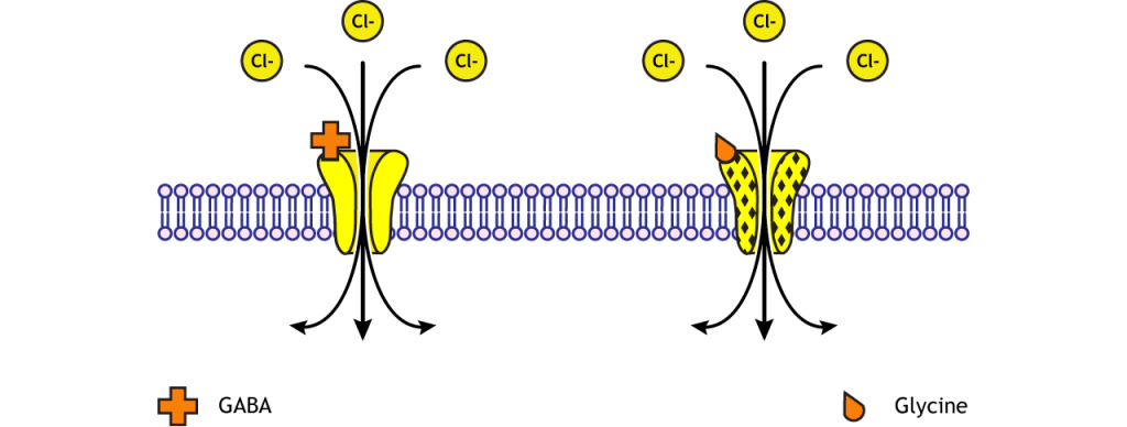 GABA and glycine receptors are chloride channels. Details in caption.