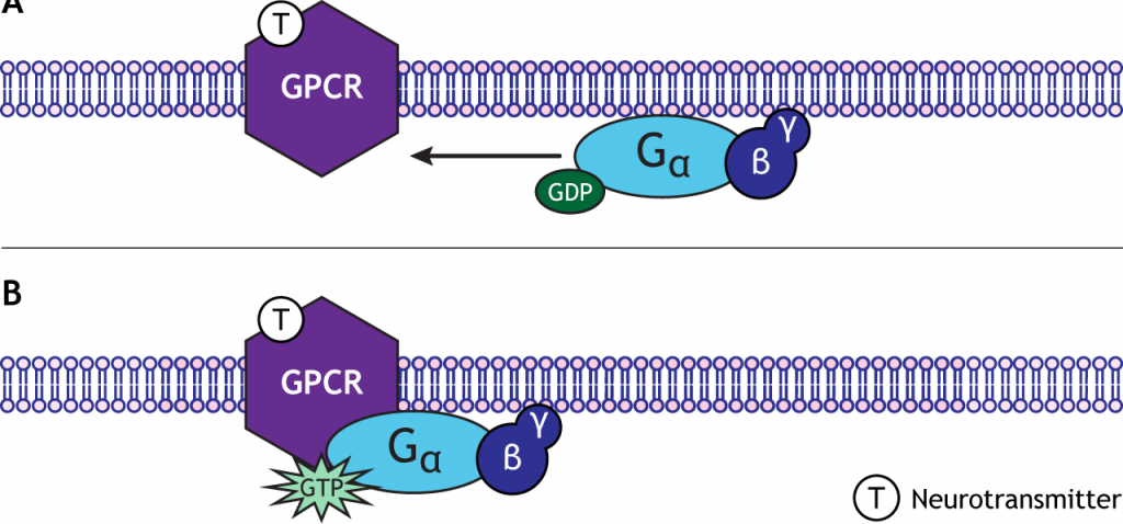 Illustrated G-protein binding to G-protein coupled receptors. Details in caption.