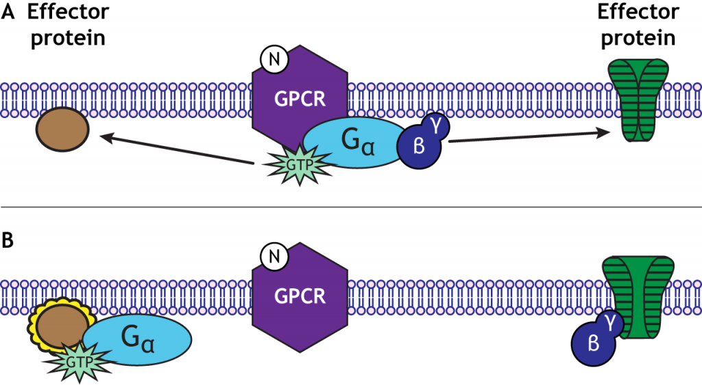 G-protein subunits can have separate effects. Details in caption.