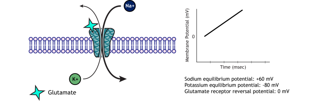 Sodium and potassium flow through a glutamate receptor to reach the reversal potential. Details in caption.