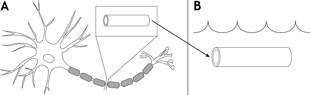 Illustrated neuron showing segment of axon removed and put in a bath. Details in caption.