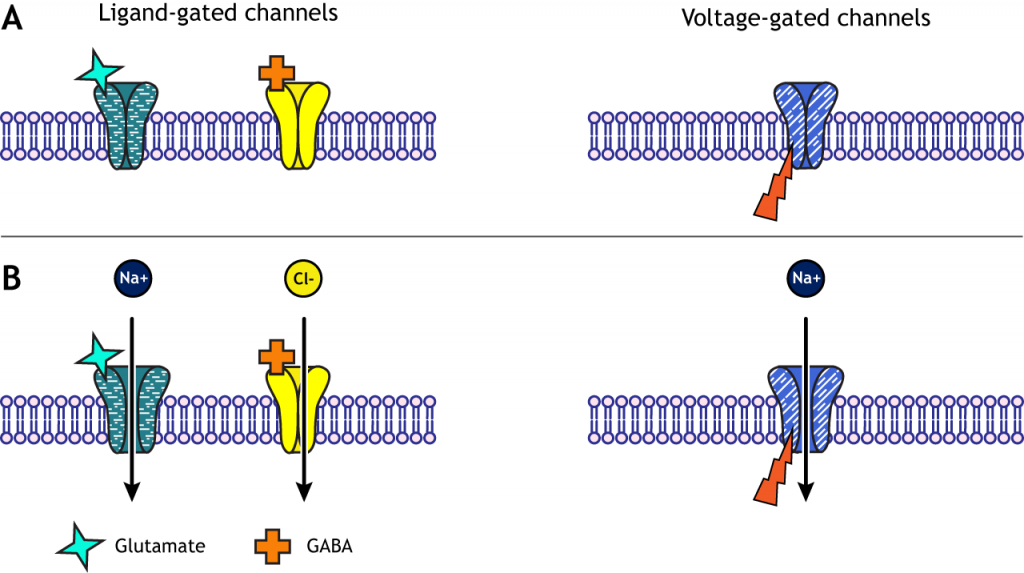 Illustrated channels showing the difference between voltage-gating and ligand-gating. Details in caption.