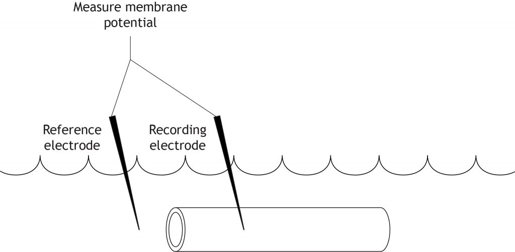 Illustrated axon with electrodes measuring membrane potential. Details in caption.