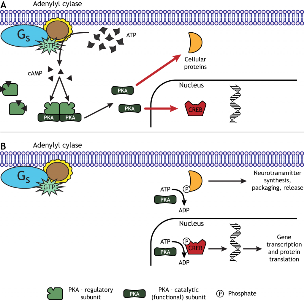 PKA can phosphorylate cellular proteins including transcription factors. Details in caption.