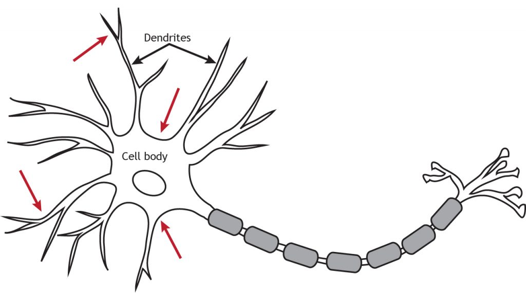 Illustrated neuron with arrows indicating location of voltage-gated channels along axon and terminal. Details in caption.