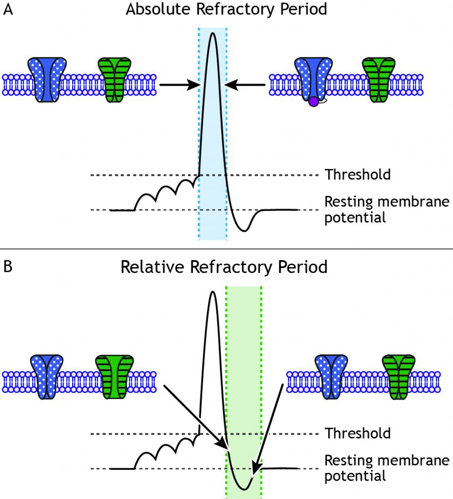 Graphs showing an action potential and the segments that make up the refractory periods. Details in caption.