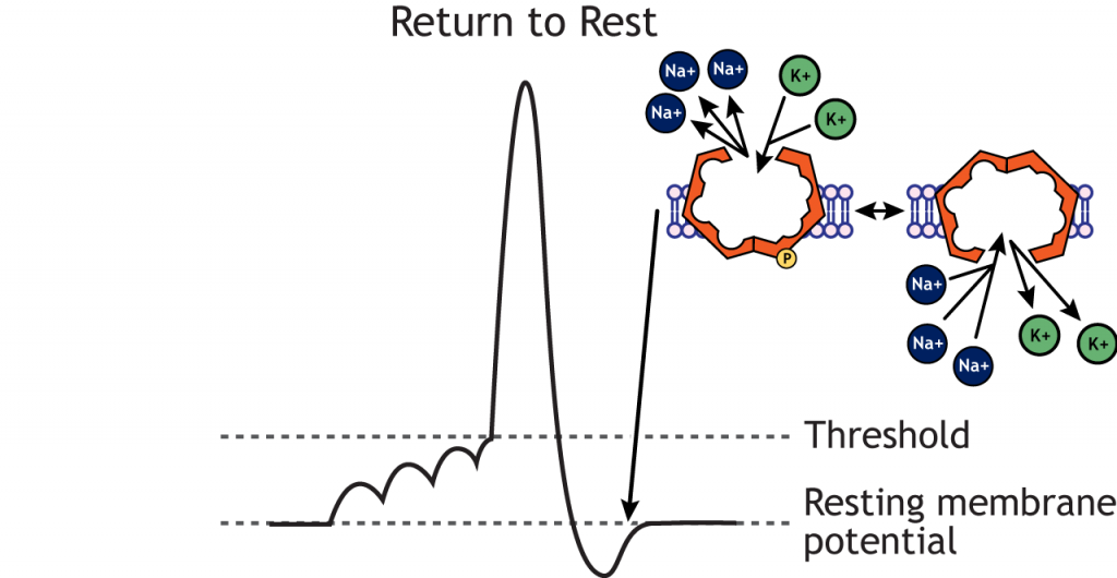 Action potential graph highlighting the return to resting membrane potential and the sodium-potassium pump. Details in caption.