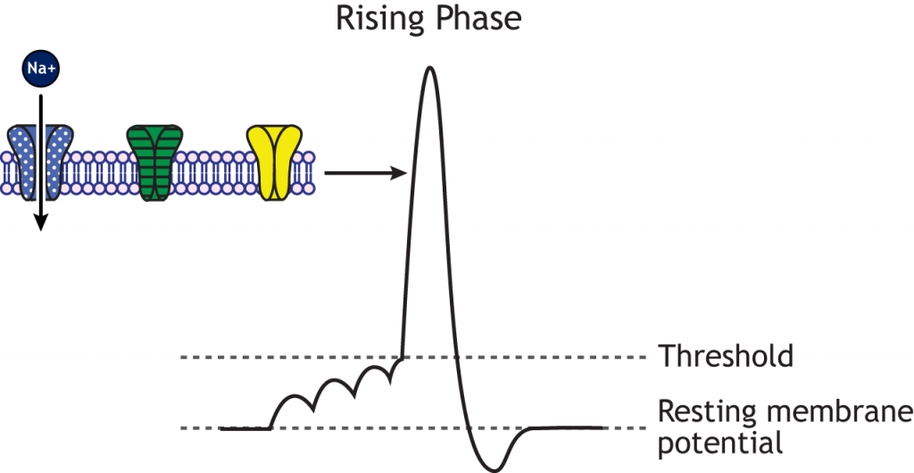 Action potential graph highlighting the rising phase and open voltage-gated sodium channels. Details in caption.