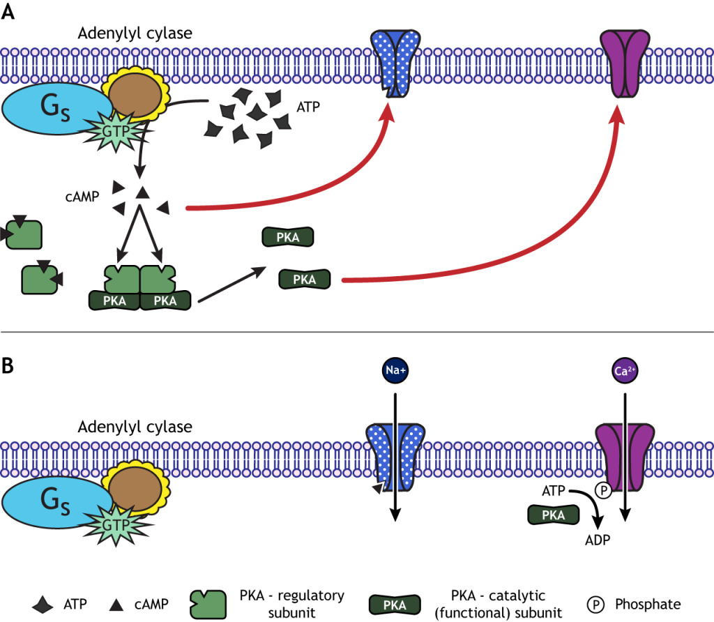 cAMP and PKA can open ion channels. Details in caption.