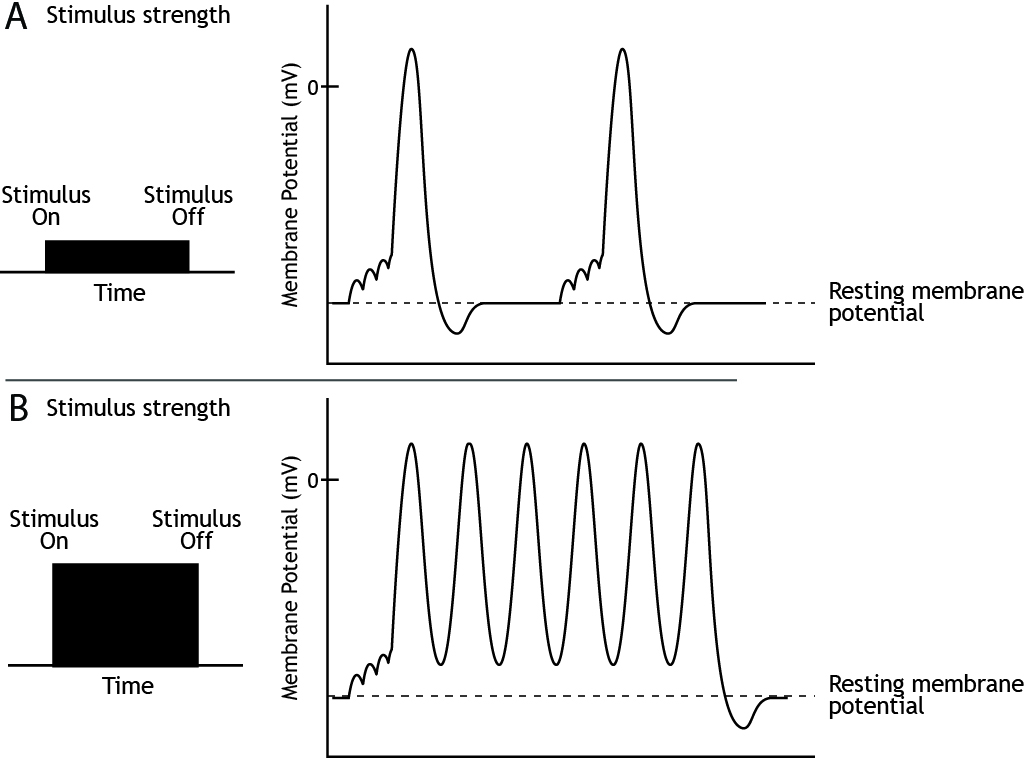 Graphs showing action potential firing rate in response to weak and strong stimuli. Details in caption.