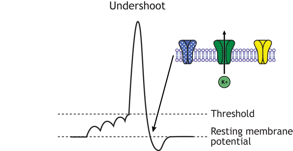 Action potential graph highlighting the undershoot, de-inactivated sodium channels, and open voltage-gated potassium channels. Details in caption.