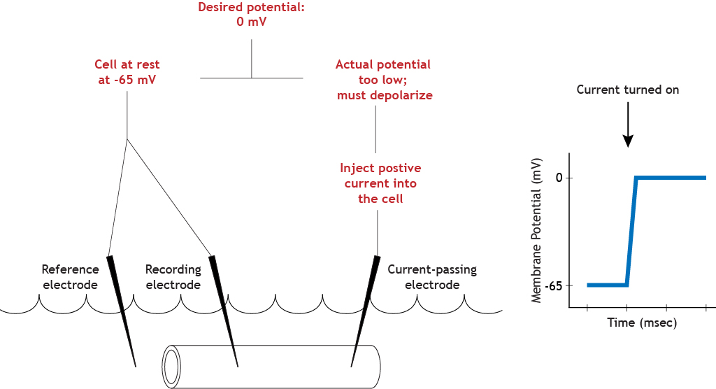 Illustrated voltage clamp experiment showing depolarization after inject. Details in caption.