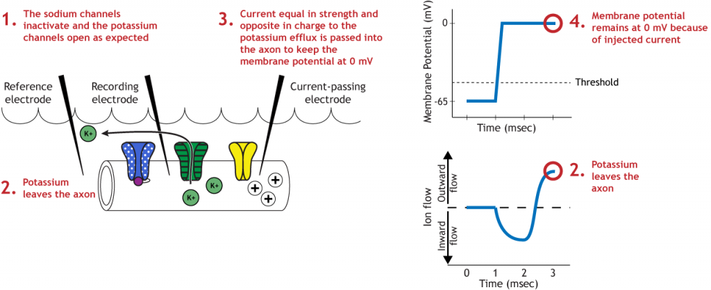 Illustrated axon, membrane potential graph, and ion flow graph showing voltage-gated potassium action during the voltage clamp experiment. Details in caption.