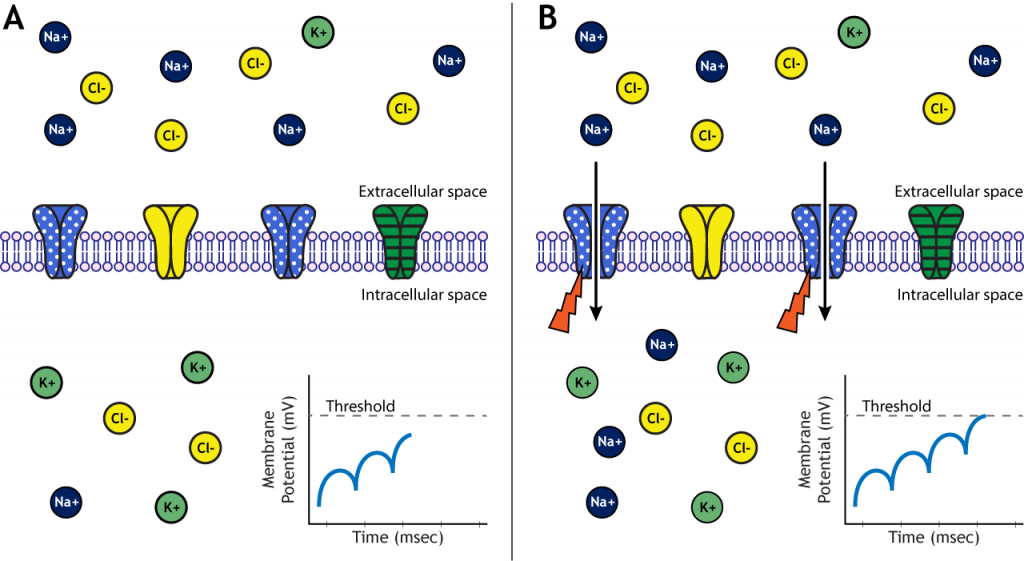 Illustrated membrane showing voltage-gated channels opening at threshold. Details in caption.