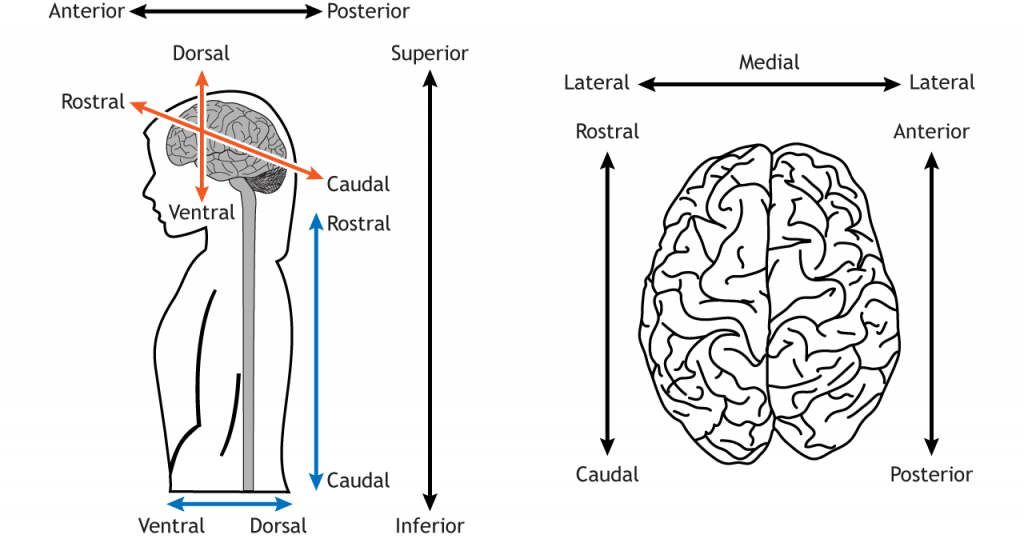 Illustration of a body and a brain showing directional anatomical terms. Details in caption and text.