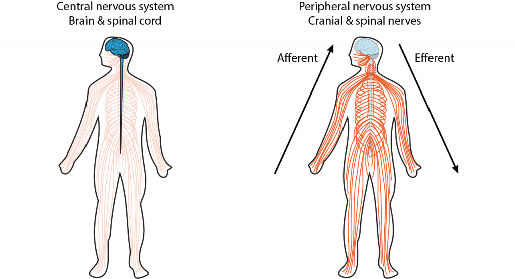 Illustration of two bodies showing the central and peripheral nervous systems. Details in caption.