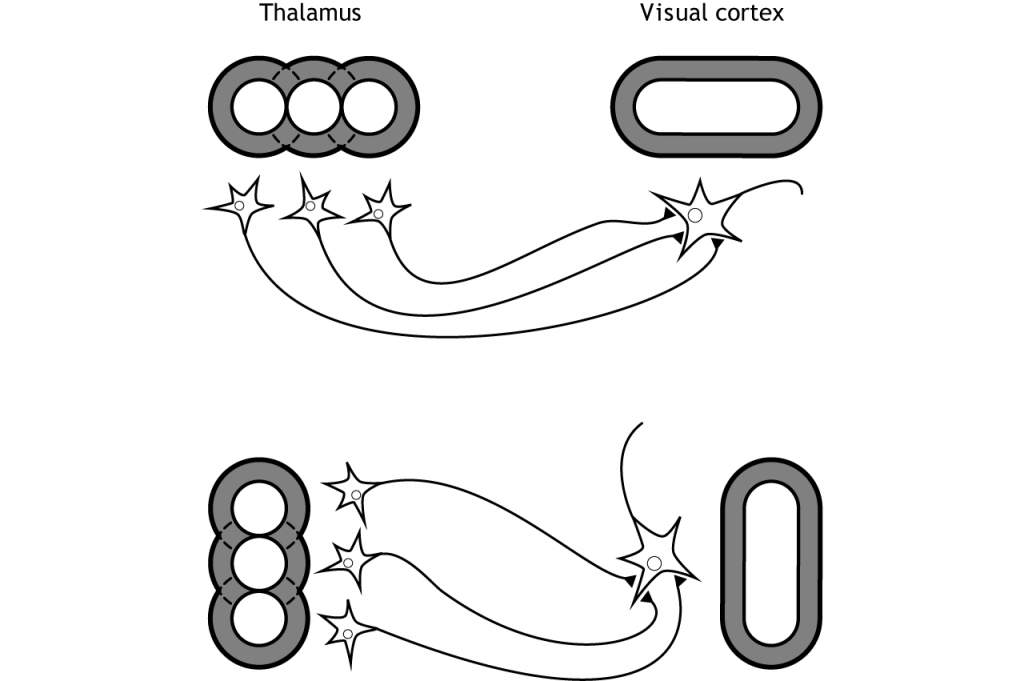 Illustration of thalamic neurons synapsing on visual cortex neurons with respective receptive fields. Detail in caption.