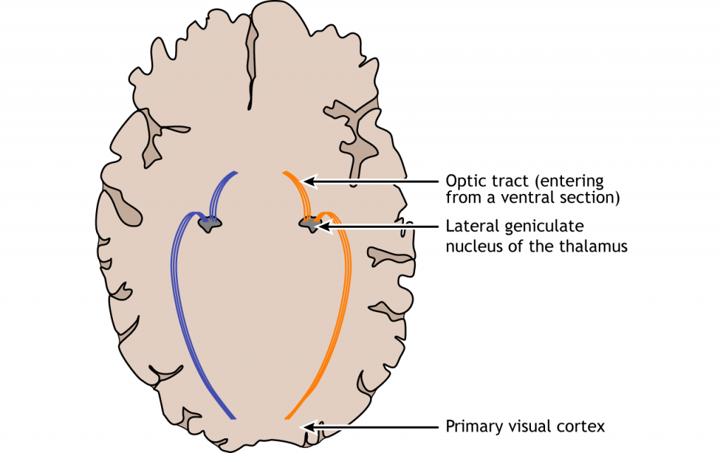 Illustration of the visual pathway in the brain. Details in caption.