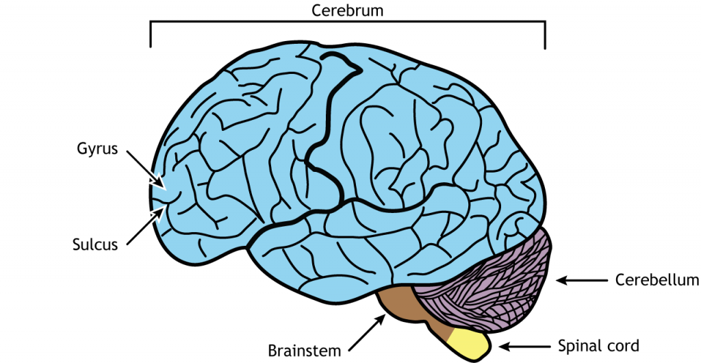 Illustration of the brain. Details in caption.