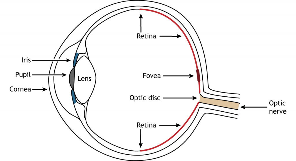 Illustration of the anatomy of the eye. Details in caption and text.