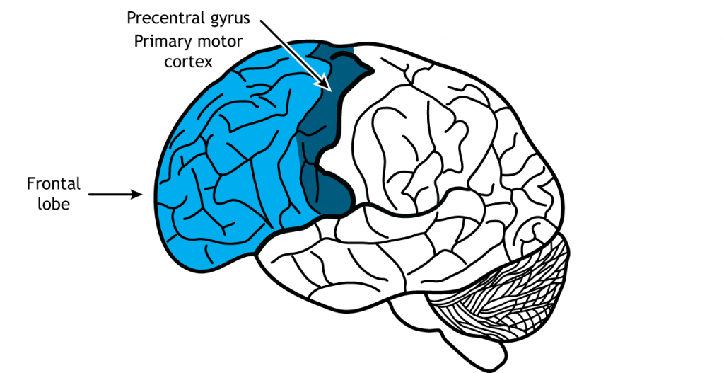 Illustration of the brain showing the frontal lobe. Details in text.