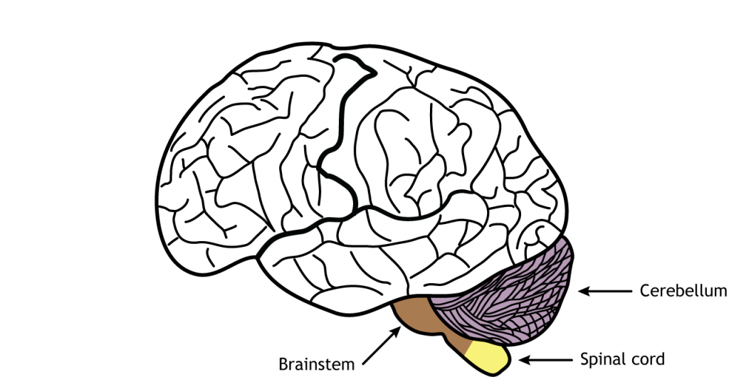 Illustration of the brain showing the cerebellum, brainstem, and spinal cord. Details in text.