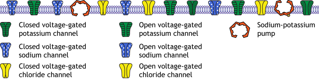Illustration of the membrane at rest. Details in text.