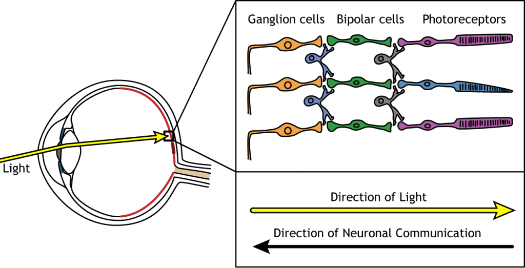 Illustration showing light passing through the retinal cell layers to activate photoreceptors. Details in caption.