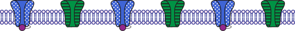 Illustration of the membrane during the falling phase of the action potential.