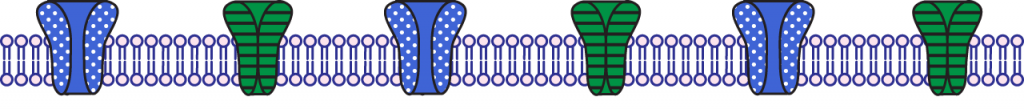 Illustration of the membrane during the rising phase of the action potential.