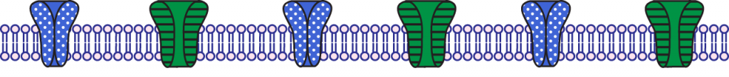 Illustration of the membrane during the undershoot of the action potential.